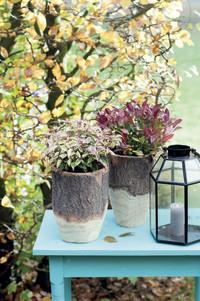 Gartengemütlichkeit im goldenen Herbst: Indian Summer Feeling mit Skimmie, Lampenputzergras und Herbstviolen