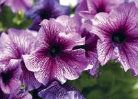 Zwilling – 21. Mai bis 21. Juni: Petunie – die Blume für den kontaktfreudigen Zwilling