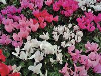 Skorpion – 24. Oktober bis 22. November: Alpenveilchen – die Blume für den entschlossenen Skorpion