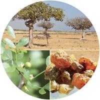 Heilpflanze mit biblischer Tradition