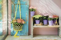 Frühlingshafte Gestaltungsvarianten mit der Zimmerhortensie
